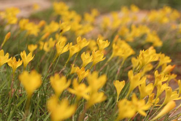 Faux Tulips