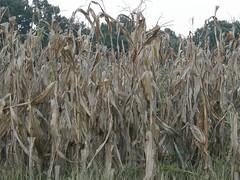 ready corn