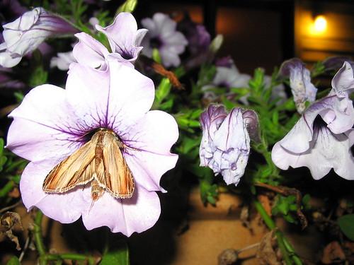 Mystery hummingbird/sphinx moth