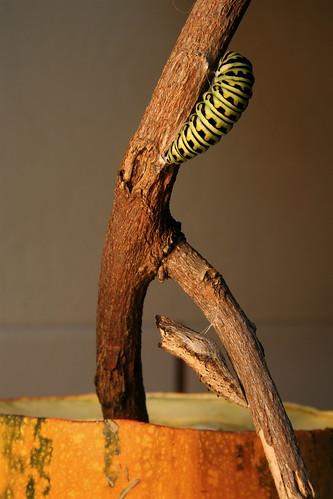 Swallowtail Caterpillar/Chrysalis