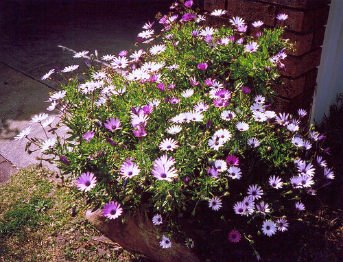 White & Purple Daisies
