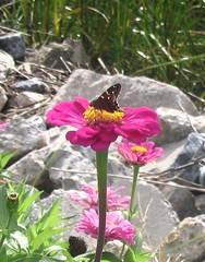 butterflyonpinkflwr