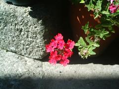 flor ao sol