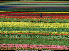 Tulip Garden, Netherlands