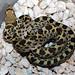 Juvenile Bull Snake (Pituophis catenifer sayi)