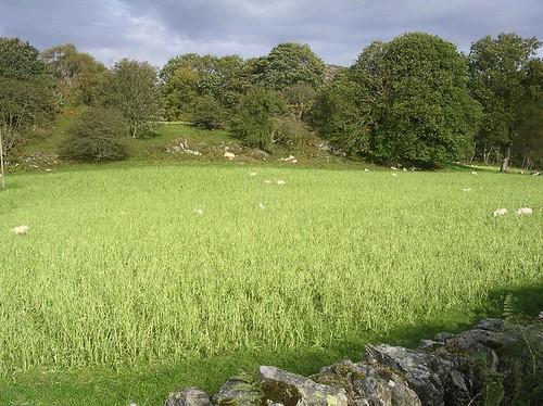 Moutons et arbres