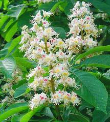 kastanja (Castanea sativa)