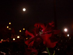 Red rose & the moon 赤薔薇とお月様