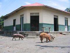 Pigs in Altagracia