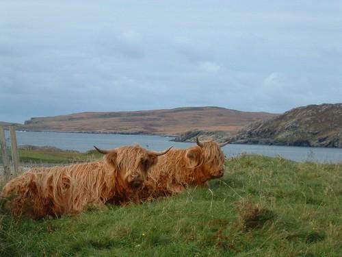 Dia 05- 11 - Highlander Cow