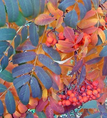 mountain ash tree - autumn leaves and berries