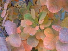 smoke tree - autumn leaves