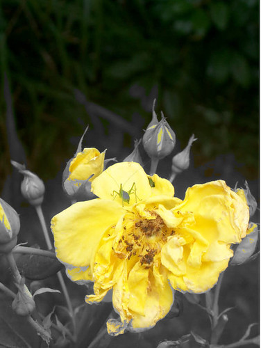 rose 141105