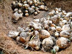2005年11月、ムスカリの球根植え