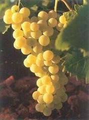 Airen grapes