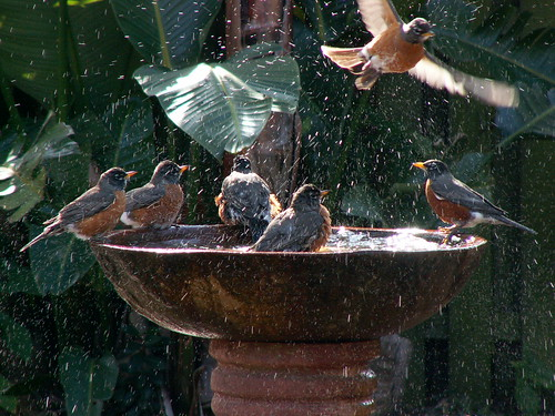 Breezin's Robins at Public Bath.