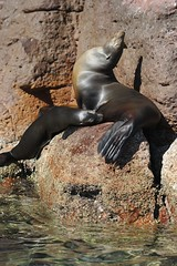 Mother and Feeding Baby Sea Lion 1