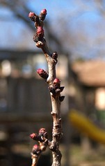 Last of the peach buds?