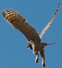 Owl Detail