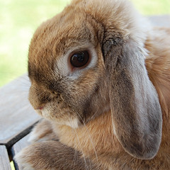 Mini Lop photo by Marie Godliman
