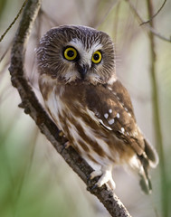 Northern Saw-Whet Owl photo by Rick Leche
