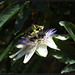 Blue passion flower - שעונית כחולה