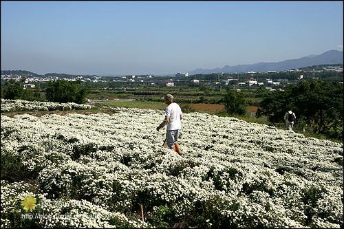 2008銅鑼杭菊01 (2)