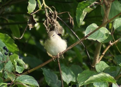 Willow warbler?