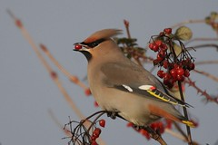 Waxwing with berries  Rendlesham 19.12.08 (3) photo by Margaret the Novice