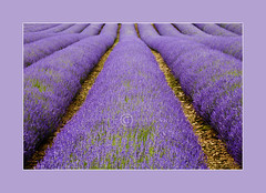 Fragrant Rows photo by dougchinnery.com
