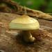 Tree Volvariella Mushroom