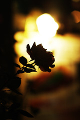 rose lose_01 photo by yugoroyd