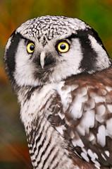 Hawk Owl photo by Tambako the Jaguar