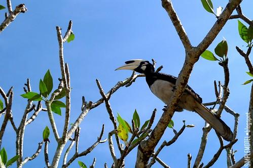 PLR Hornbill 01L