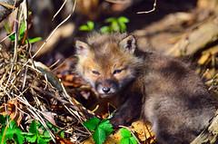 Red Fox Kit photo by Brian E Kushner
