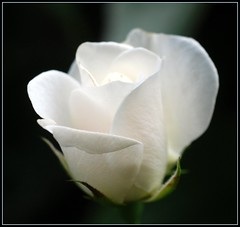 White Rose Of Summer photo by taney55