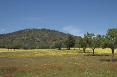 Blumenfeld auf Mallorca
