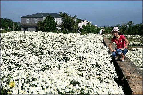 2008銅鑼杭菊01 (3)