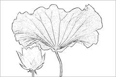 Lotus Flower Sketch - IMGP3808 photo by Bahman Farzad