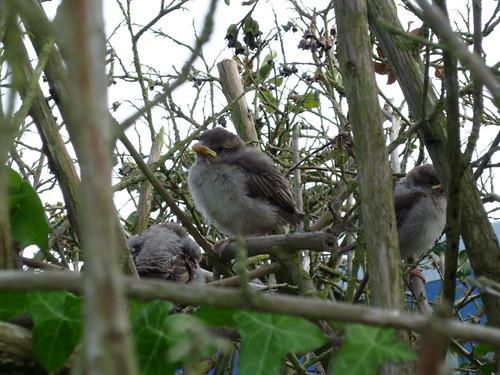 Baby Sparrows