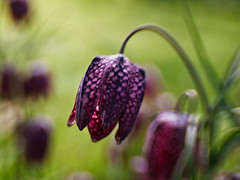 Fritillaria meleagris - (EXPLORE  May 21, 2011) photo by Anne Worner