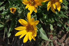 3d. Narrow-leaved Mule Ears (sunflowers) Photo