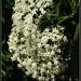 European Elderberry inflorescence - תפרחת סמבוק שחור