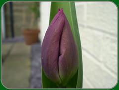 Purple Tulip photo by ruralguygraham