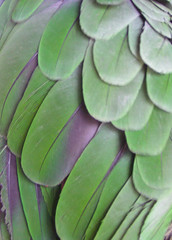 Amazon parrot wing (feather texture #1) photo by Butterfly Psyche