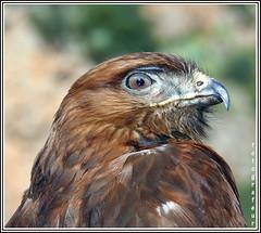 kite bird of prey photo by aziouezmazouz