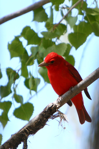 Day 136...2008...Summer Tanager
