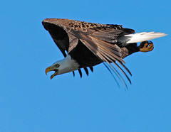 bald eagle in flight photo by Slingher