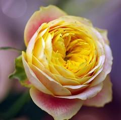 Peach English Rose photo by bluehazyjunem