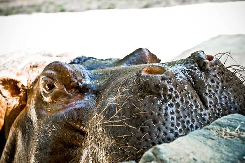 Hippo at the Philadelphia Zoo